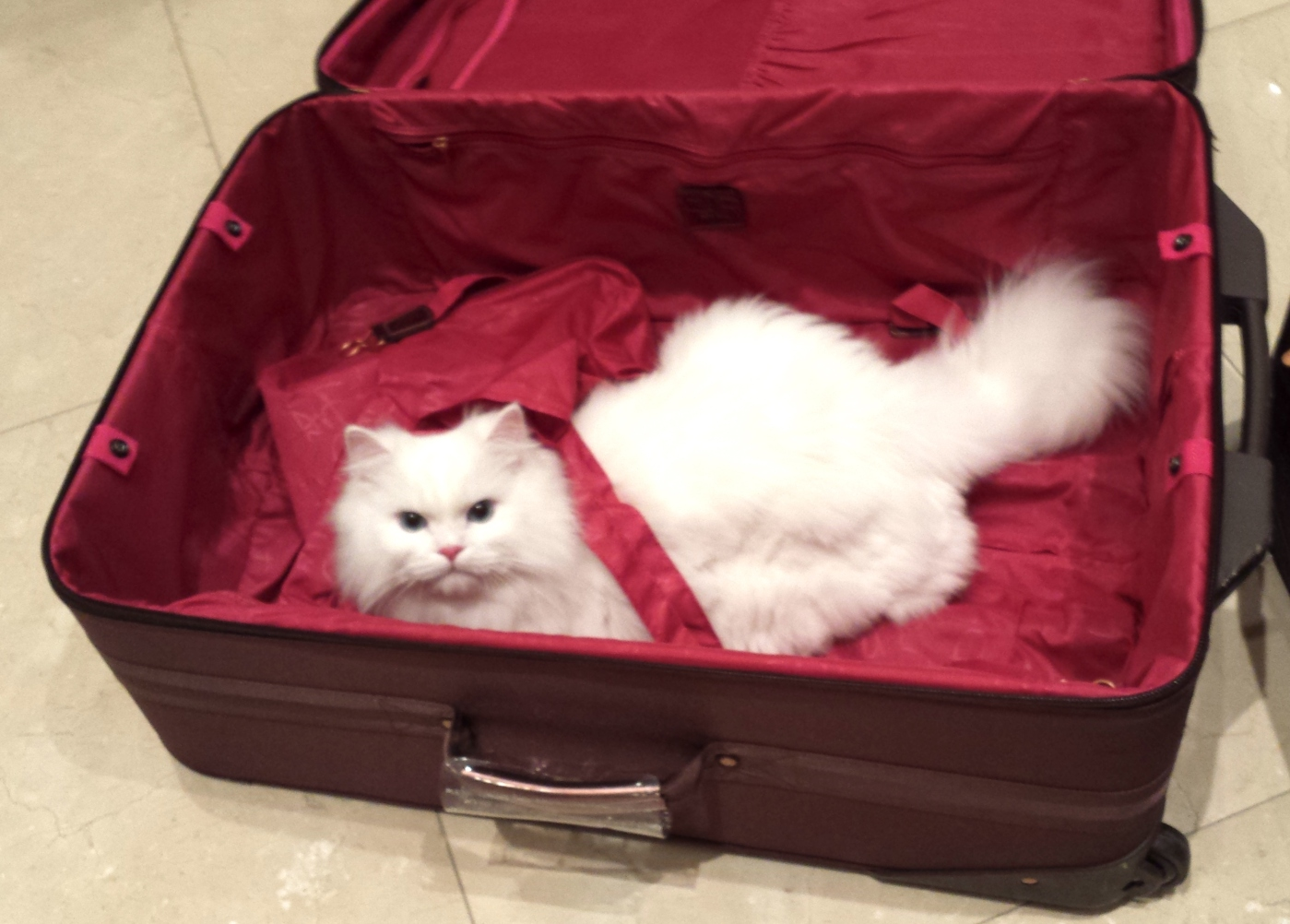 """Coco is scared: I'm going to meet my mother in law in Persia (Persian cat)... would she have claws like my wife or is she a good cook?! I'll play it safe and answer only """"meow"""" gracefully"""